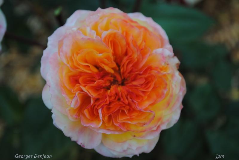 rosa Georges Denjean Dsc_0414