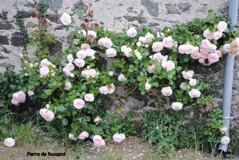 Rosa 'Pierre de Ronsard' !!! - Page 2 Dsc_0417