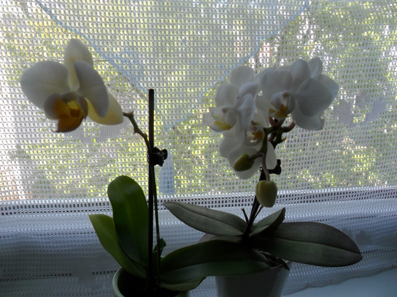 Mes orchidees Sam_2738