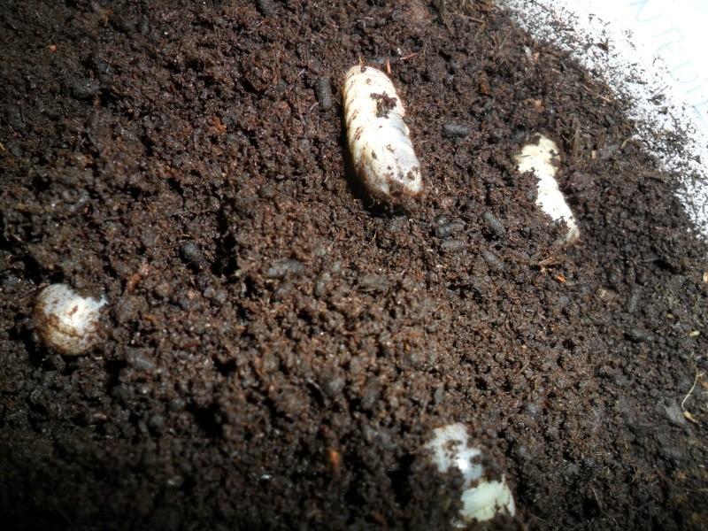 Vers et coleopteres,on fait comment? Sam_2739