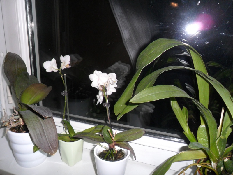 Mes orchidees Sam_2843