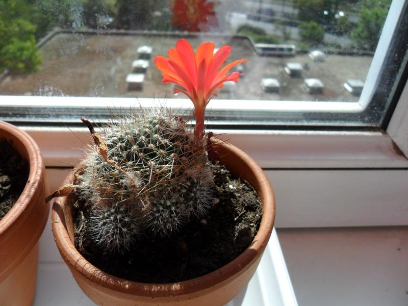 Mes bébés cactus - Page 2 Sam_3419