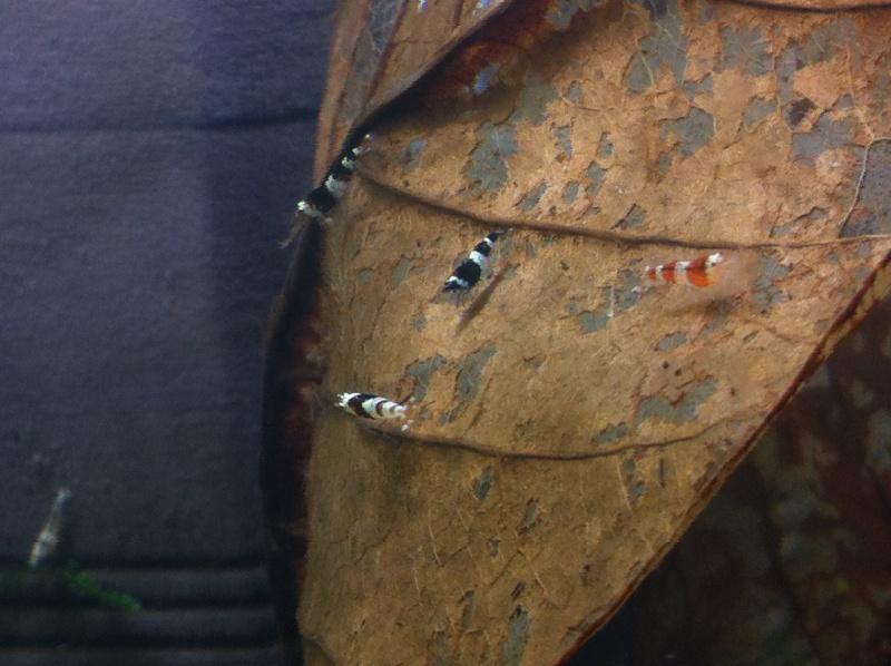 Mordu par les crevettes - Page 10 5_juve10