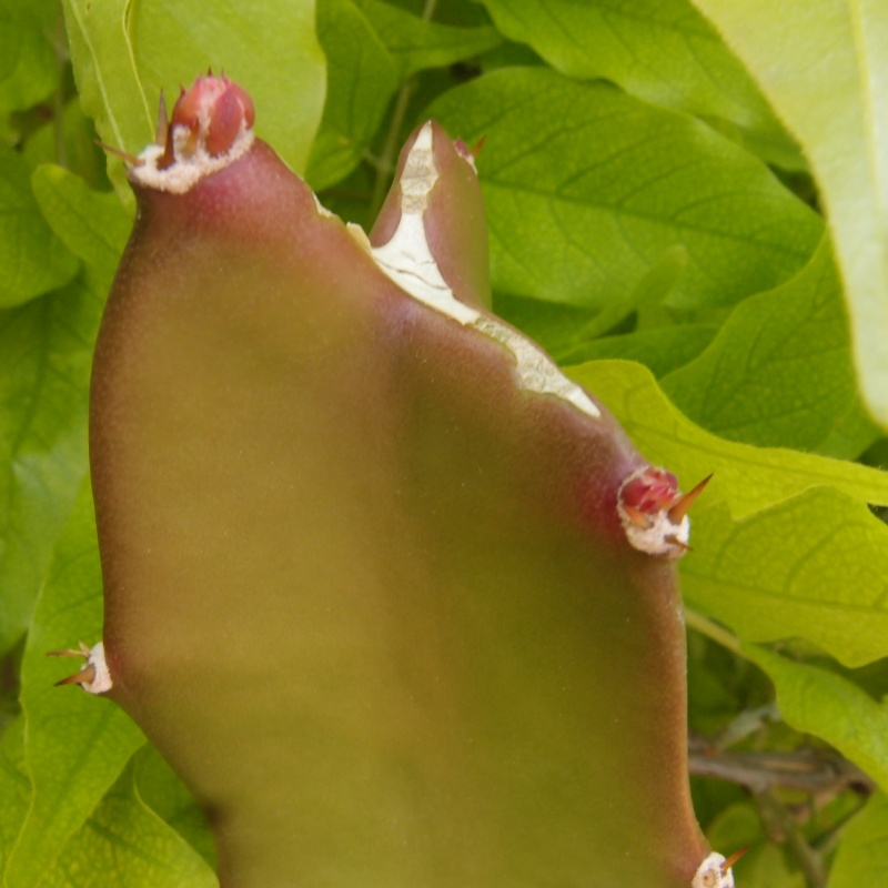 Hylocereus undatus, fruit du dragon- Pitaya ou Pitahaya - Page 3 P5136712