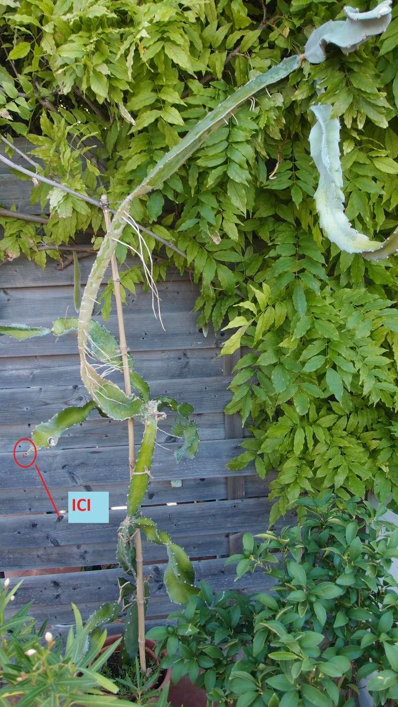 Hylocereus undatus, fruit du dragon- Pitaya ou Pitahaya - Page 4 P8068010
