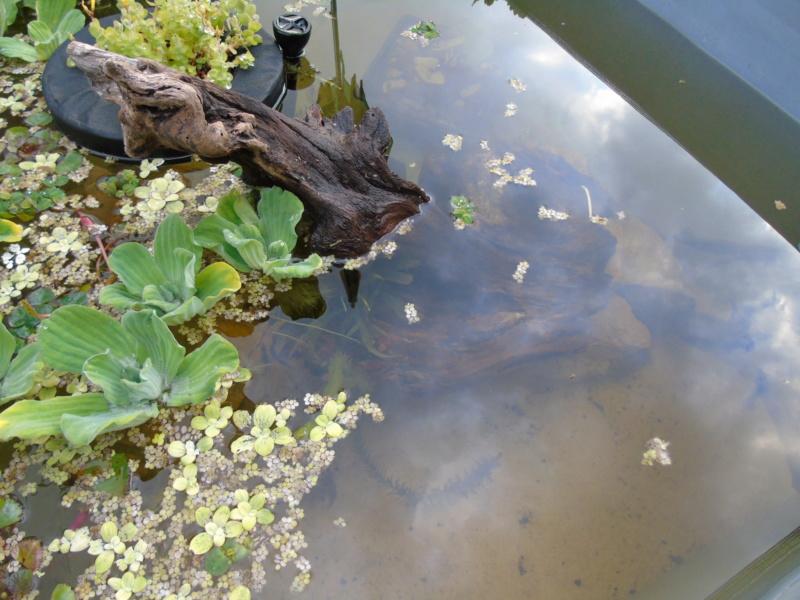 Le quartier d'été de mes deux stenotherus odoratus Dsc03422