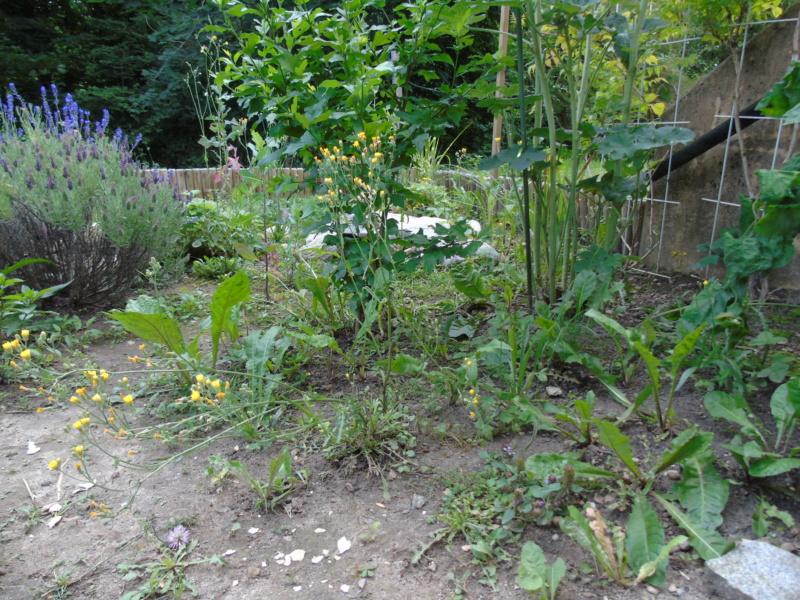 Le jardin de mes boettgeri Dsc03425