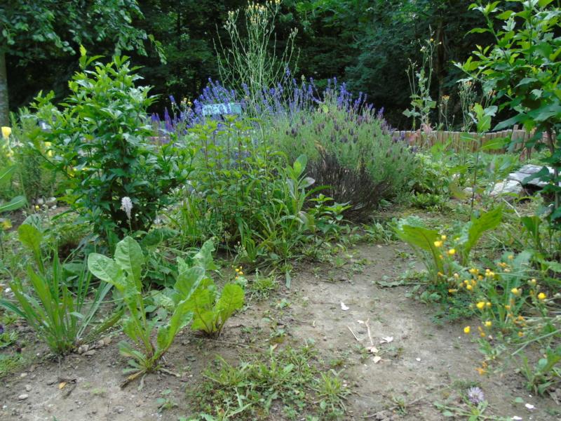 Le jardin de mes boettgeri Dsc03426