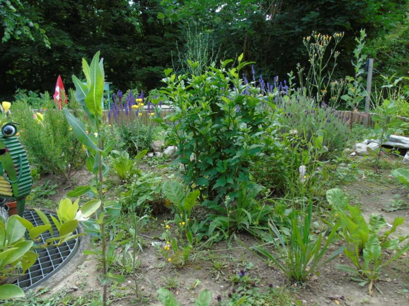 Le jardin de mes boettgeri Dsc03427