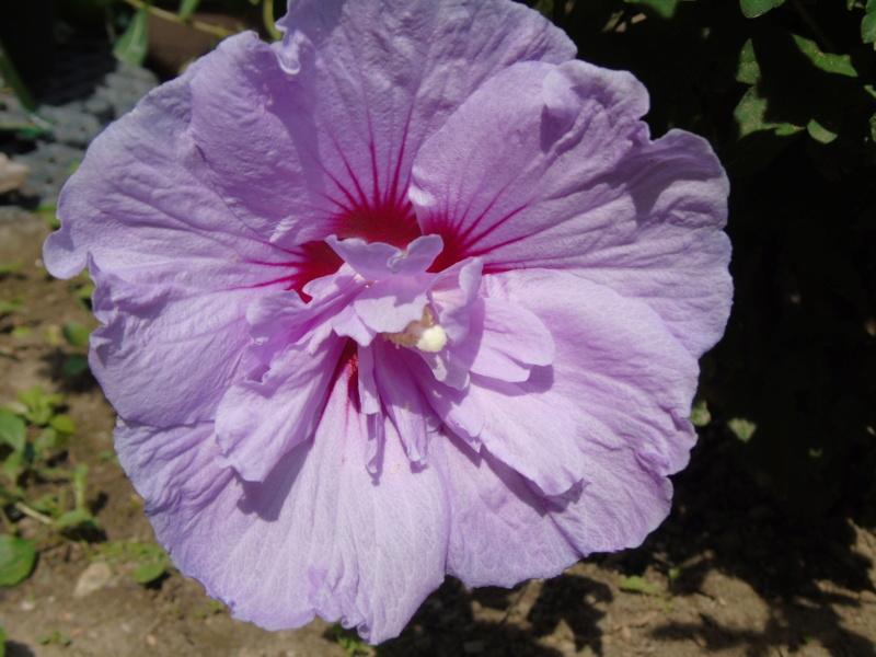 Le jardin de mes boettgeri Dsc03515