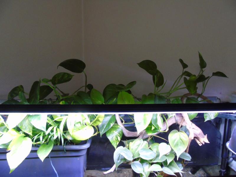 Nouvel espace pour mes deux petites odoratus Dsc04611