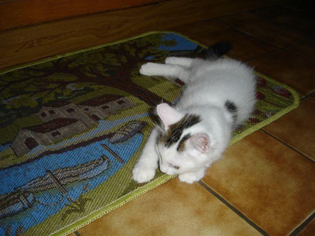 LOUKOUM, chaton Européen  blanc tacheté, à poils longs, né le 20/03/2015 Dsc00911