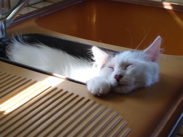 LOUKOUM, chaton Européen  blanc tacheté, à poils longs, né le 20/03/2015 Dsc00913