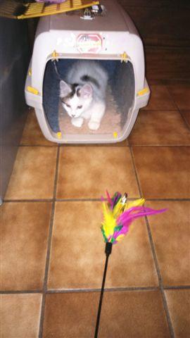 LOUKOUM, chaton Européen  blanc tacheté, à poils longs, né le 20/03/2015 Dsc_0032
