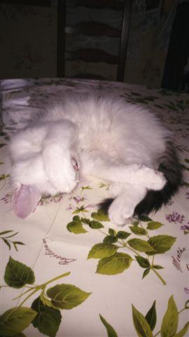 LOUKOUM, chaton Européen  blanc tacheté, à poils longs, né le 20/03/2015 Dsc_0033