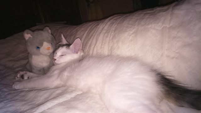 LOUKOUM, chaton Européen  blanc tacheté, à poils longs, né le 20/03/2015 Dsc_0034