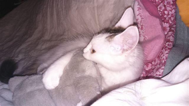 LOUKOUM, chaton Européen  blanc tacheté, à poils longs, né le 20/03/2015 Dsc_0035