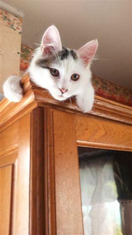 LOUKOUM, chaton Européen  blanc tacheté, à poils longs, né le 20/03/2015 Dsc_0037