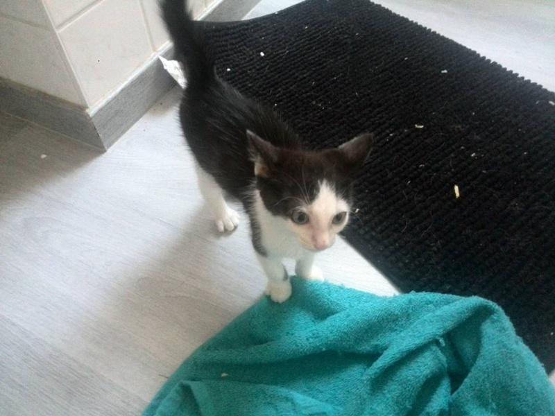 LOOKY, chaton mâle né en mai 2015 - adopté par Marion (dpt 67) Looky210
