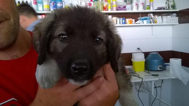 Stitch - STITCH - mâle, croisé berger né en août 2015 - adopté par Claire et Franck (67) Stitch10