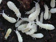 Détritivores utilisés en terrariophilie Collem10