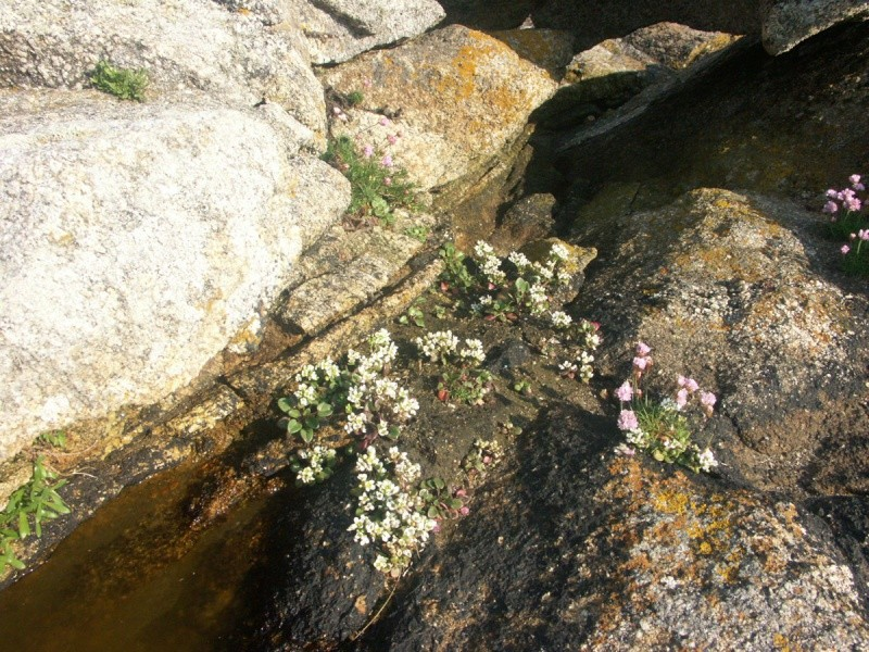 flore du littoral : plages, dunes, vases et rochers maritimes - Page 2 Coklea11