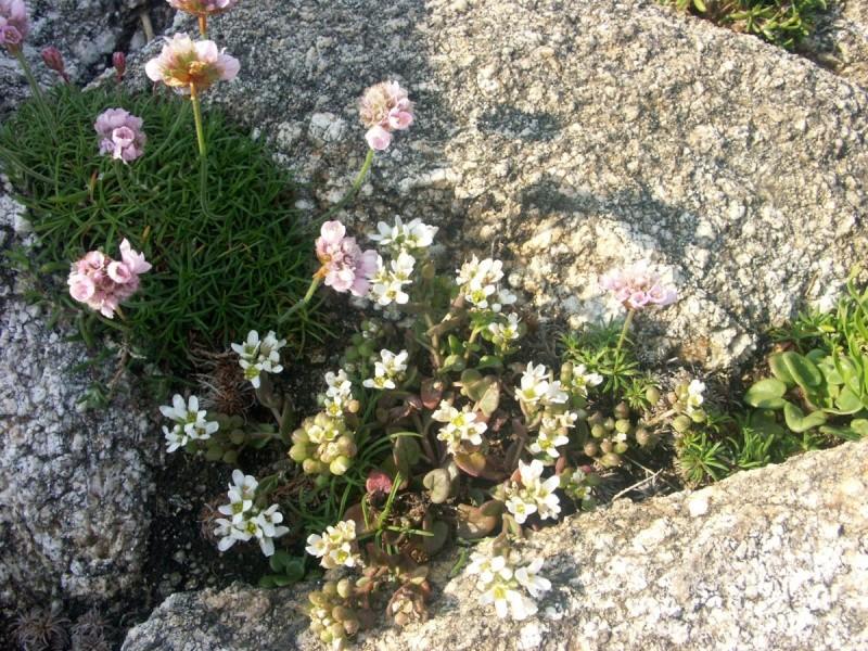 flore du littoral : plages, dunes, vases et rochers maritimes - Page 2 Coklea12