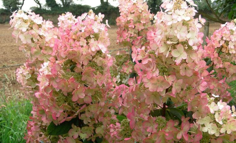 Hydrangea paniculata 'cv noid' [id. non terminée] H_pani10