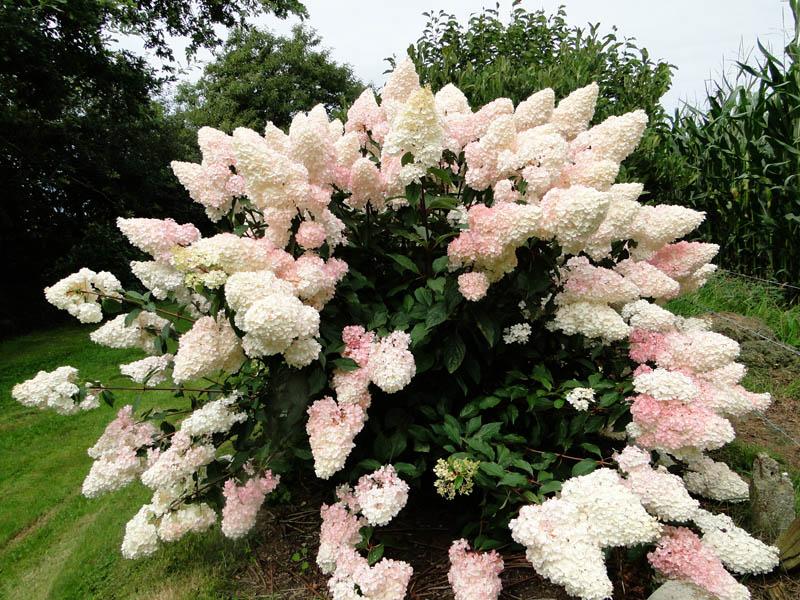 massifs en blanc - fleurs et feuillages : belles associations  H_vani10