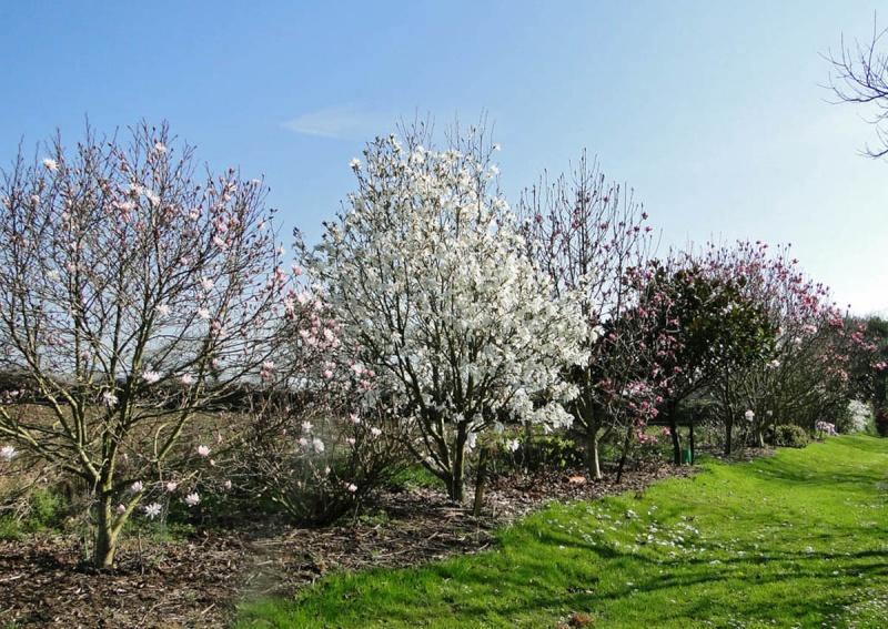massifs en blanc - fleurs et feuillages : belles associations  M_wada10