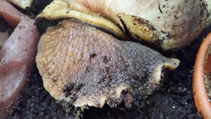 Parasites achatina fulica 20150711