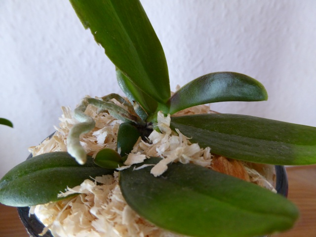 Orchideen in Glasvase 3 P1020214