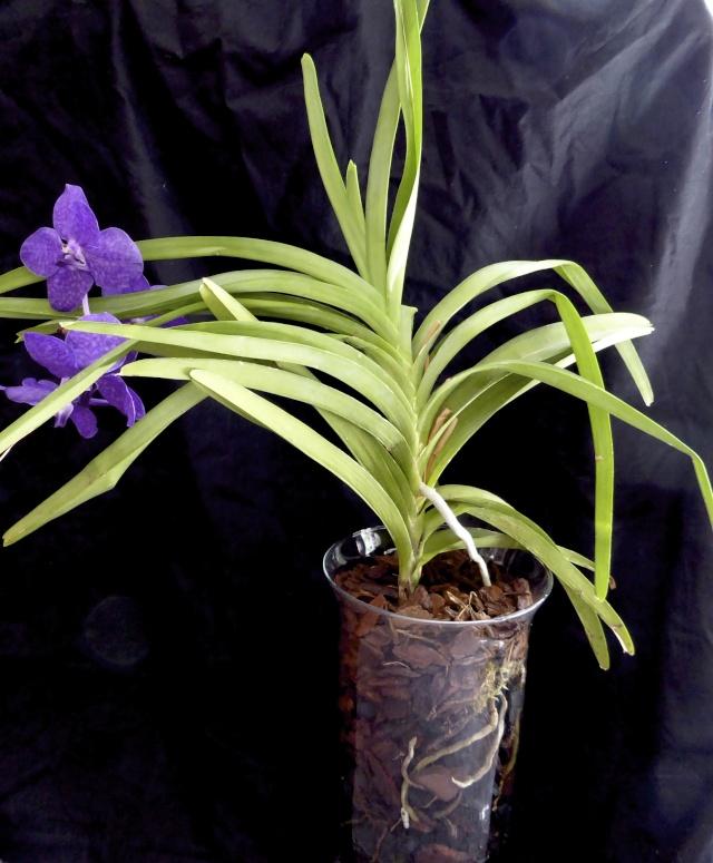 Orchideen in Glasvase 3 - Seite 12 P1030015