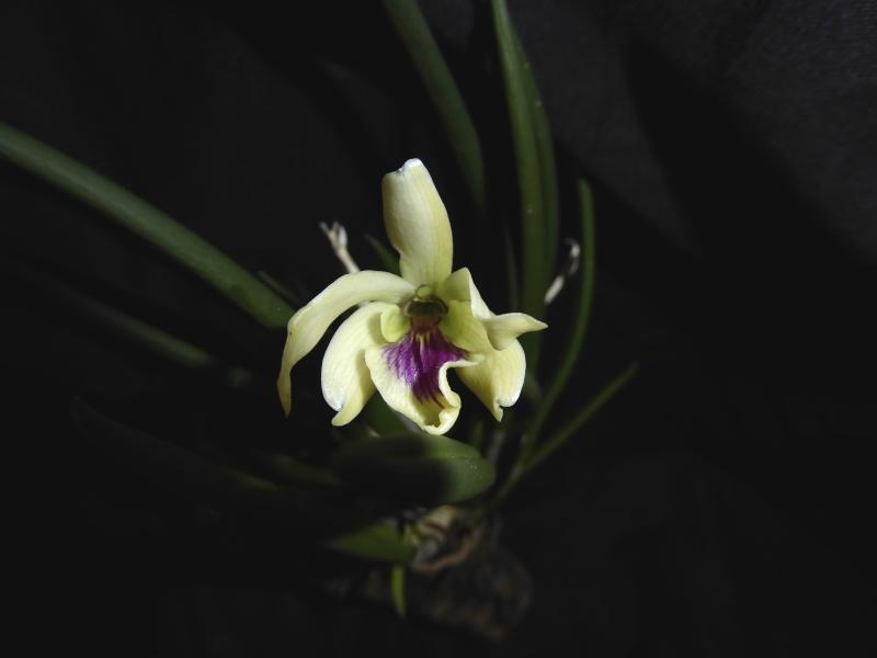 Leptotes bicolor P1030117