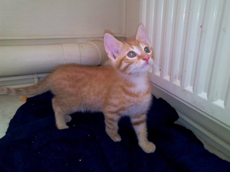 Leko (devenu Imothep) chaton roux né le 10 Avril 2015 11868710