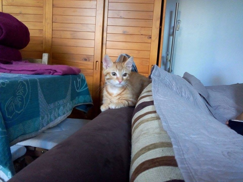 Leko (devenu Imothep) chaton roux né le 10 Avril 2015 11874010