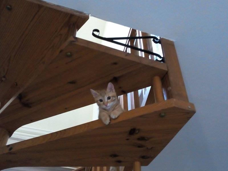 Leko (devenu Imothep) chaton roux né le 10 Avril 2015 11874011