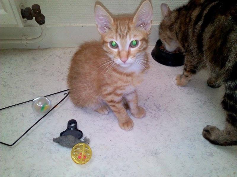 Leko (devenu Imothep) chaton roux né le 10 Avril 2015 11880810