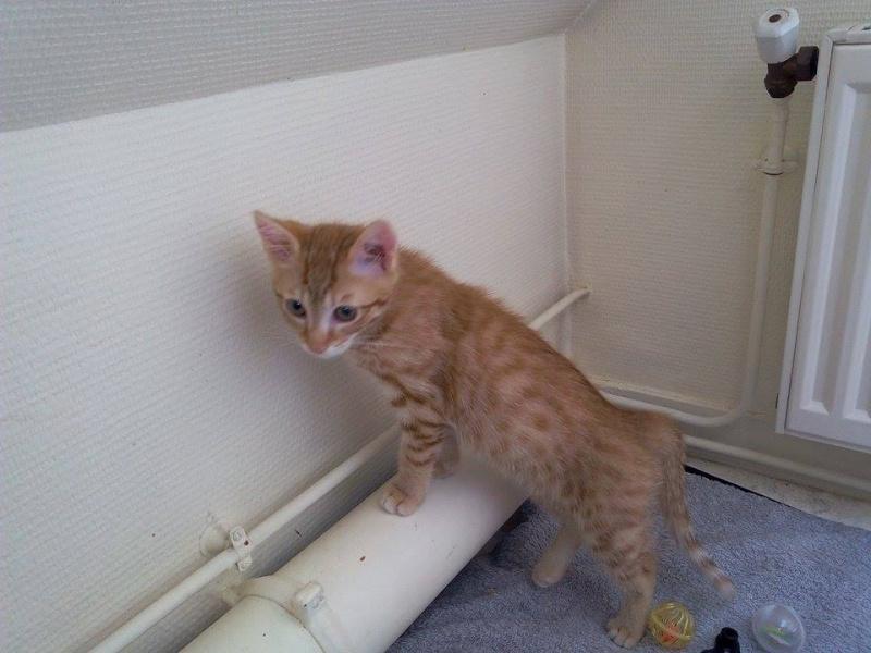 Leko (devenu Imothep) chaton roux né le 10 Avril 2015 11913310
