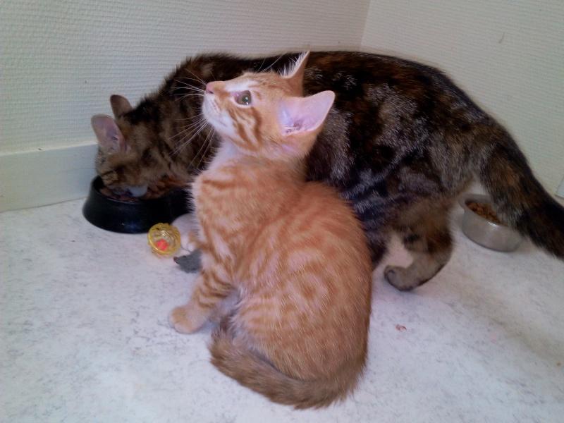 Leko (devenu Imothep) chaton roux né le 10 Avril 2015 Img_2068