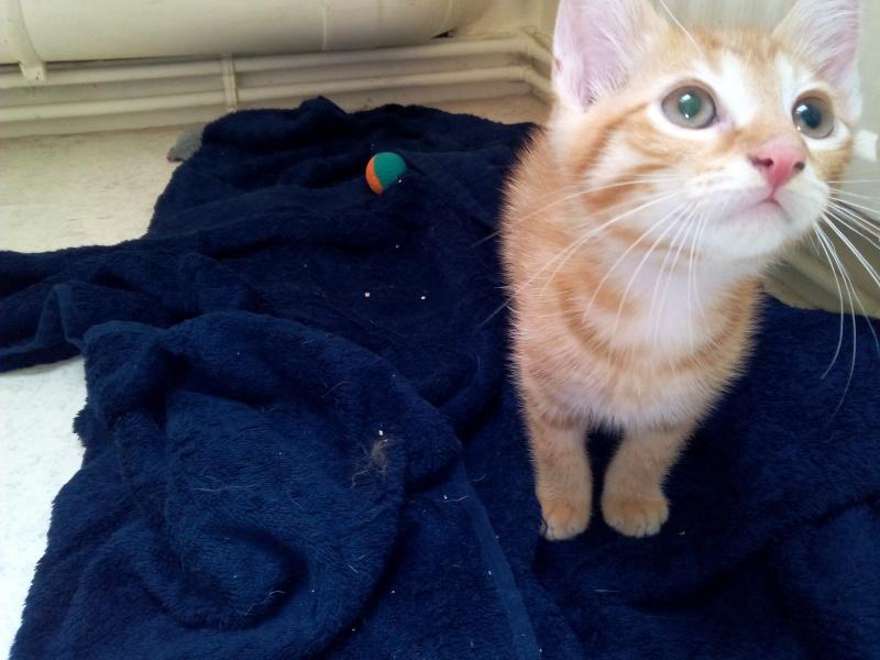 Leko (devenu Imothep) chaton roux né le 10 Avril 2015 Img_2069