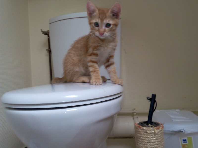 Leko (devenu Imothep) chaton roux né le 10 Avril 2015 Img_2070