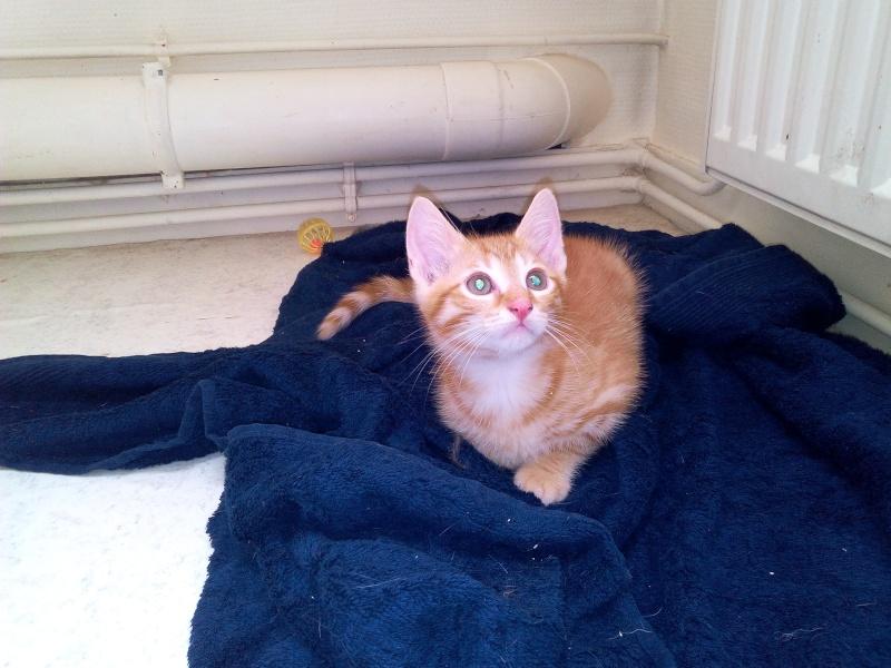 Leko (devenu Imothep) chaton roux né le 10 Avril 2015 Img_2071