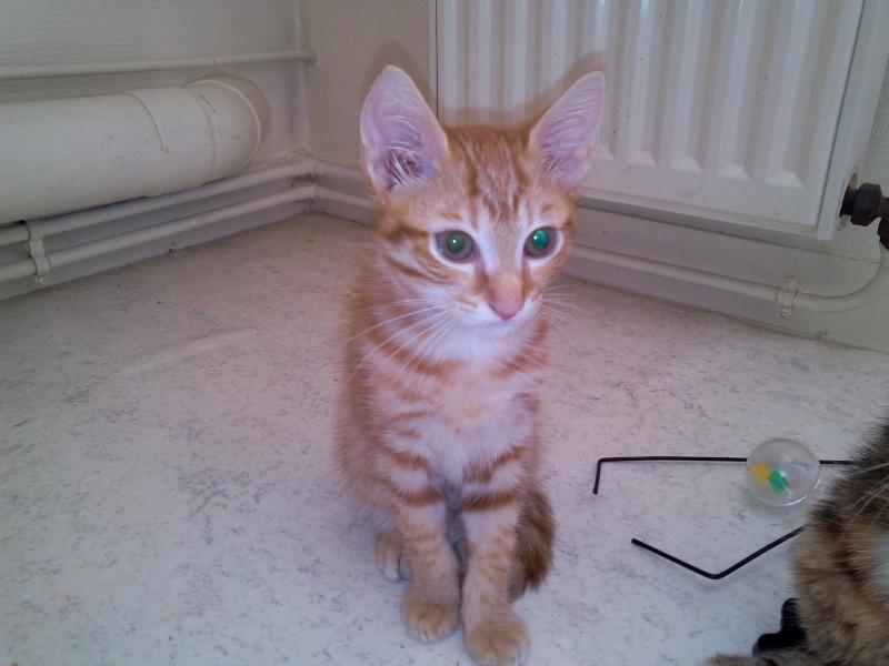 Leko (devenu Imothep) chaton roux né le 10 Avril 2015 Img_2073