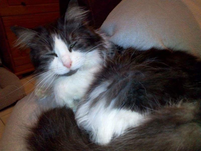 Grisette, noire et blanche poils longs née en 2009 Receiv30