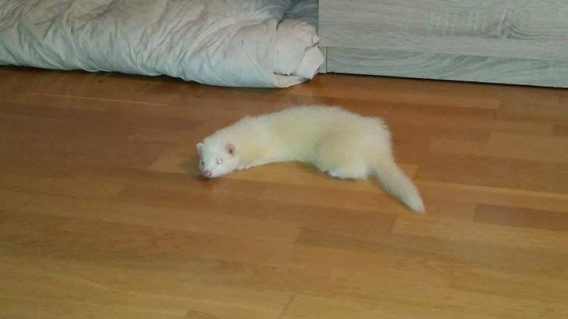 Snowball jeune furet albinos 11751310