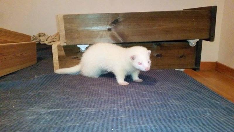 Snowball jeune furet albinos 11753810