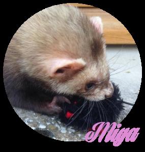 Miya issue du sauvetage des 14 furets Miya10