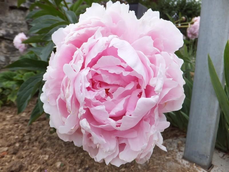 Floraisons printanières 2015 - Page 2 Cdscf511