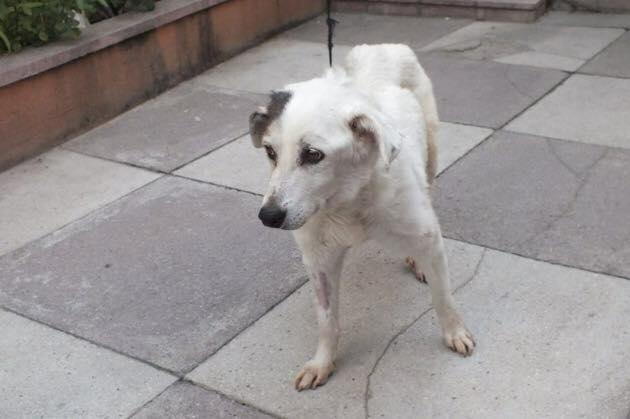OCHISOR, vieille chienne malade sauvée de justesse par Anda et Alina à Bucarest 11846410